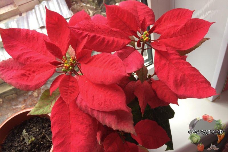 Пуансеттия - приметы и суеверия: можно ли держать красную рождественскую звезду дома, что принесет этот цветок женщинам и другие народные поверья
