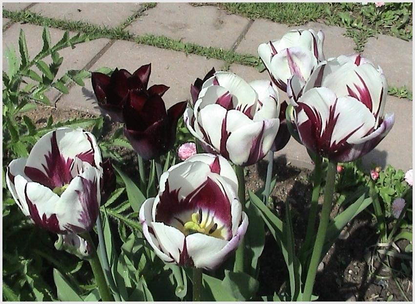 13 самых частых вопросов о тюльпанах – все, что вы хотели узнать | в цветнике (огород.ru)