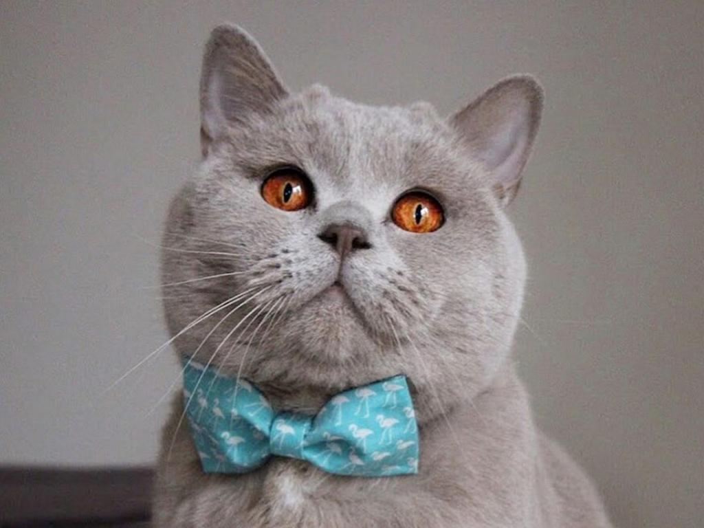 Британская мраморная короткошерстная кошка или «табби»