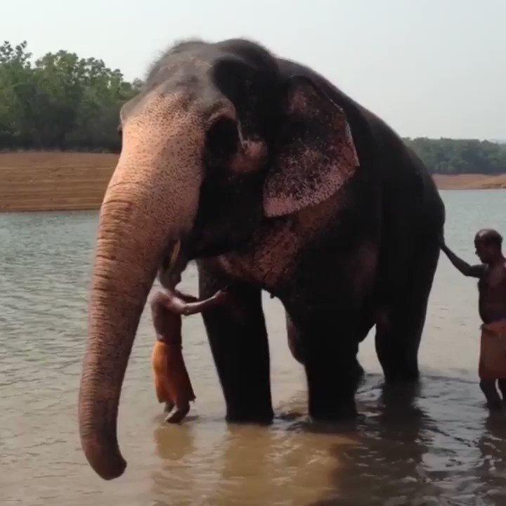 Африканский слон ? фото, описание, ареал, питание, враги ✔