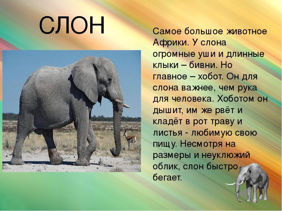 Слоны — виды и фото