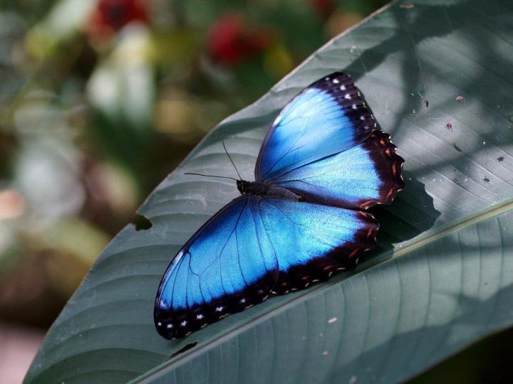 Бабочка морфо в квартире.