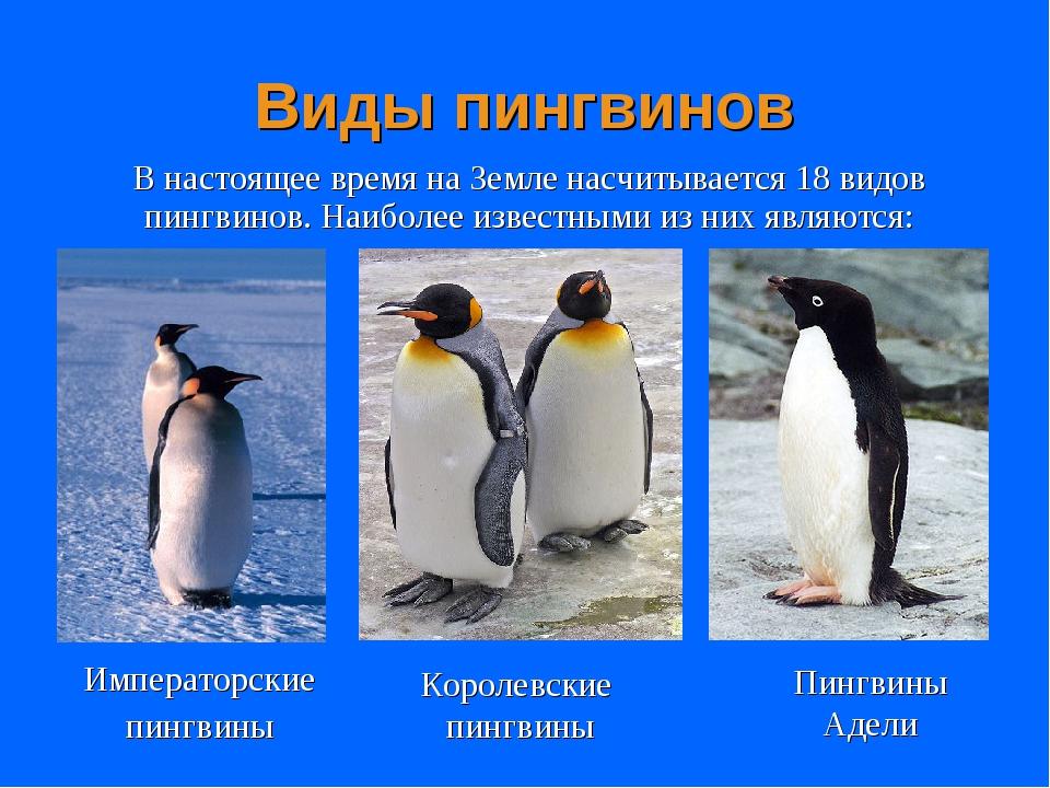Удивительные пингвины. фото пингвинов