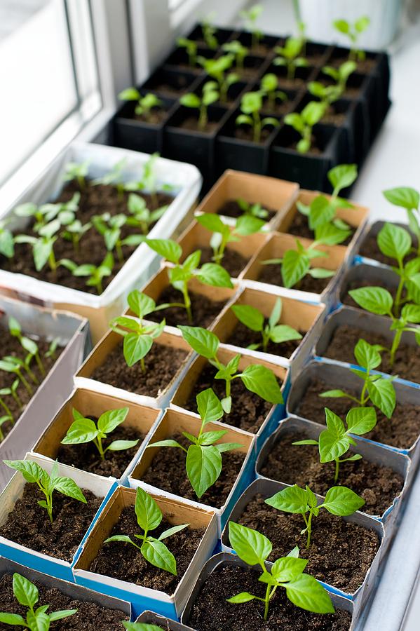 Как правильно сажать перец на рассаду и вырастить качественную рассаду |