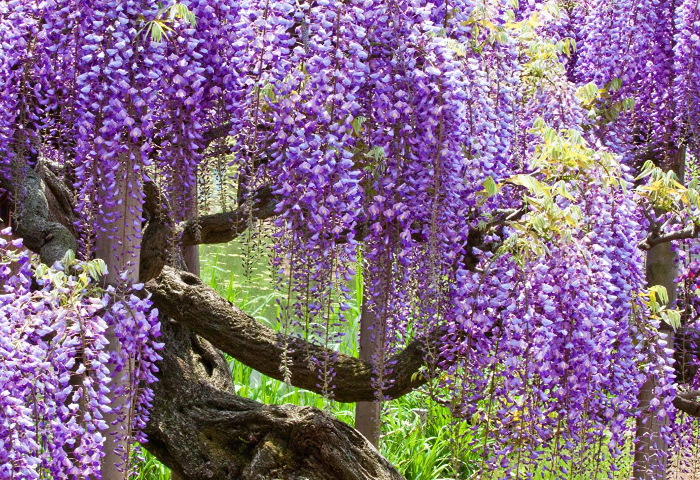Глициния обильноцветущая: описание лианы вистерия флорибунда (wisteria floribunda), подвидов роял пурпл, блэк дракон и других, уход и особенности размножения