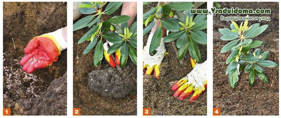 Магнолия: посадка и уход в открытом грунте, выращивание в саду, виды и сорта с фото