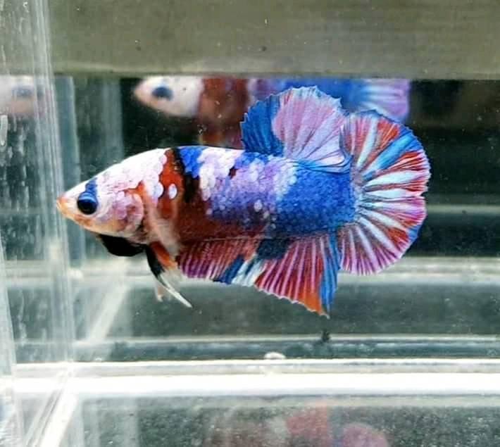 Петушок рыбка: размножение,содержание,фото,видео,совместимость | аквариумные рыбки