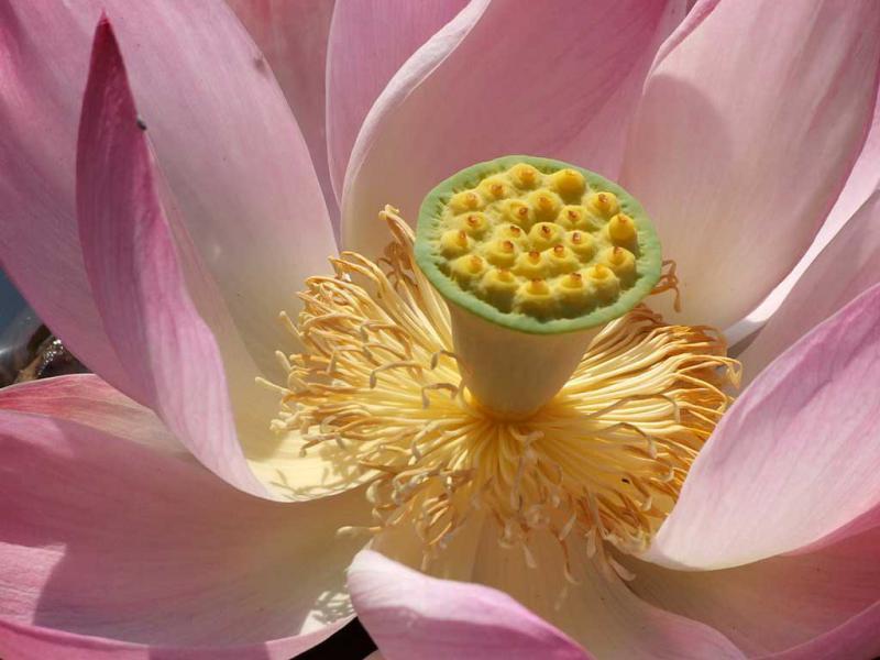 Лотос: фото цветка, описание растения, уход, виды