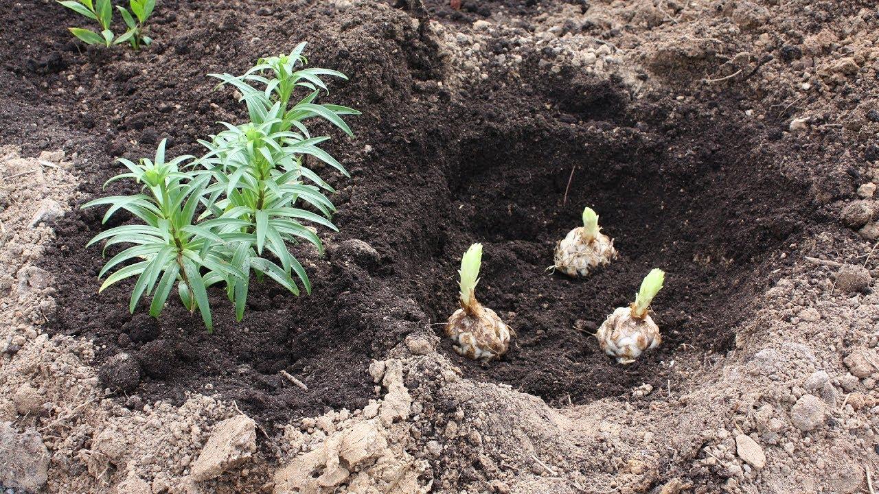 Лилии анастасия - украшение сада