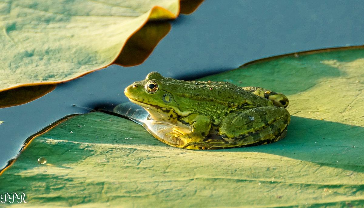 Озерная лягушка | мир животных и растений