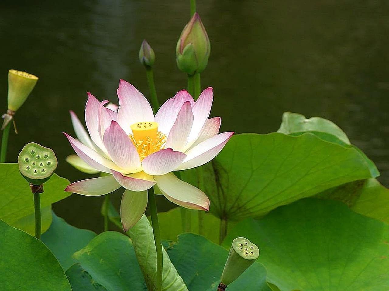 Цветок лотос: фото, выращивание и уход