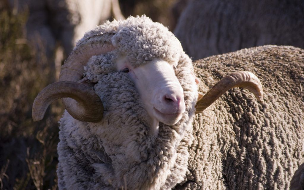 Овца: 145 фото, интересные факты об овцах и особенности их разведения