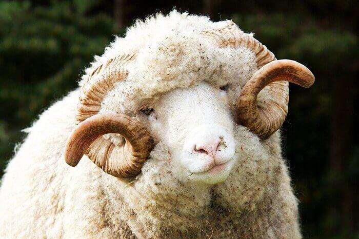 Овца — официальная minecraft wiki
