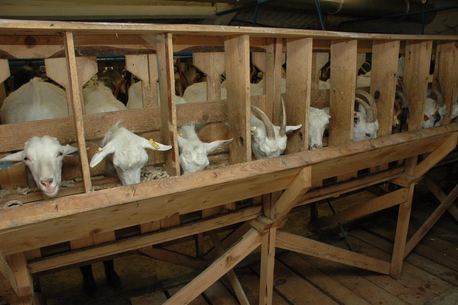 Коза ламанча: фото и описание. сколько дают молока, характеристика породы.