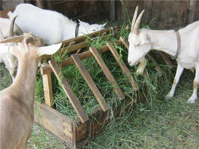 Восточные козы на российских подворьях: гулаби, биталы, камори и шами – что о них рассказывает эксперт — agroxxi