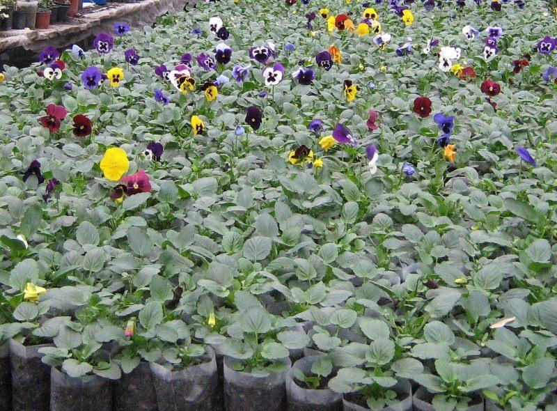 Анютины глазки (виола) - сад цветов - двулетник