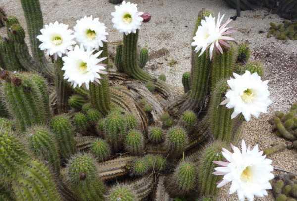 Виды кактусов - более 20 видов с фото и описаниями!