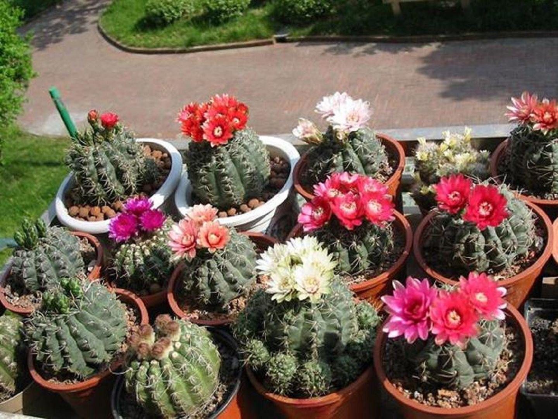 Виды домашних кактусов (100 фото): уход в домашних условиях