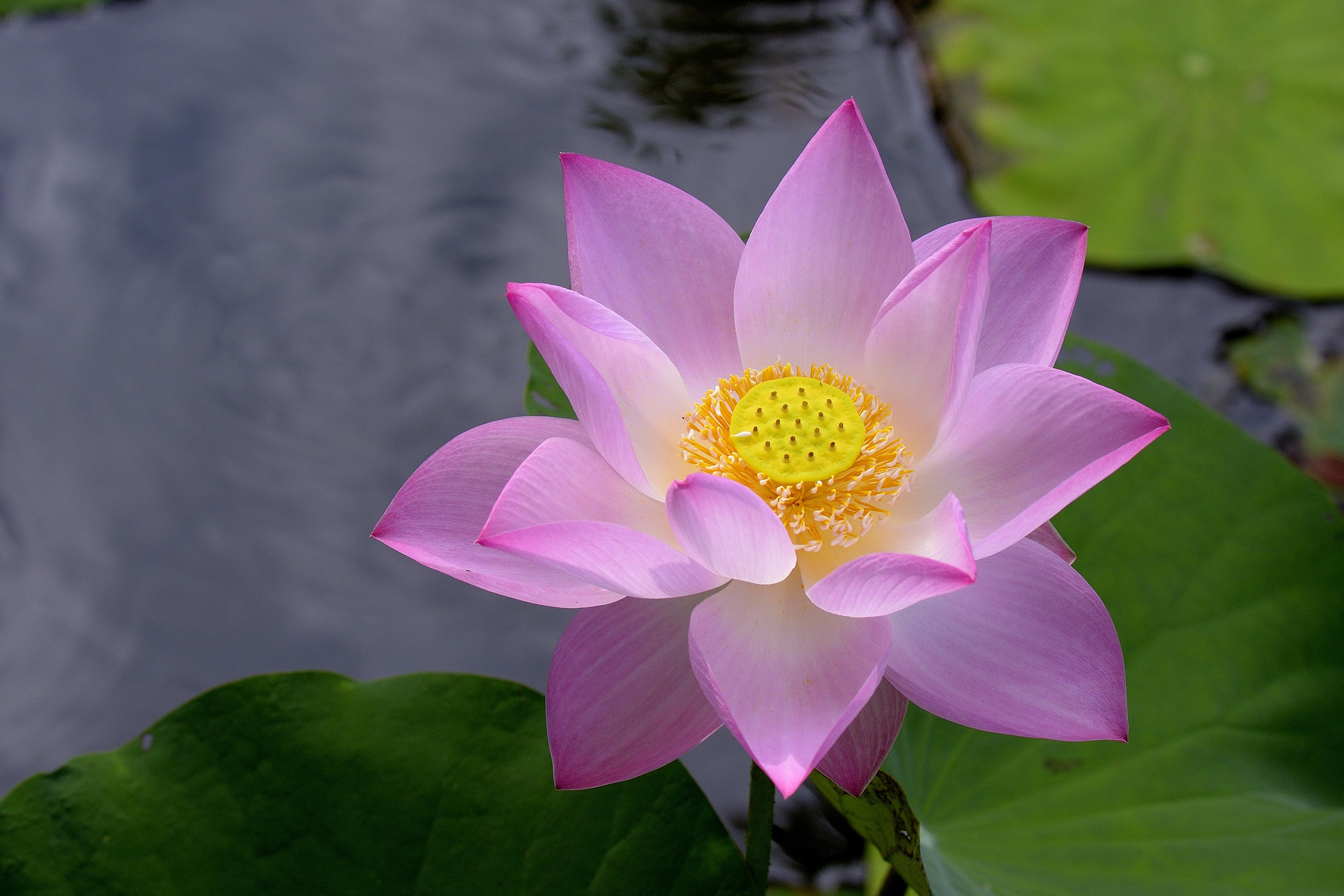 Лотос — символ чистоты и иных качеств: какое значение имеет цветок, в том числе в буддизме, что дает талисман женщинам, как носить подвеску и другие амулеты?
