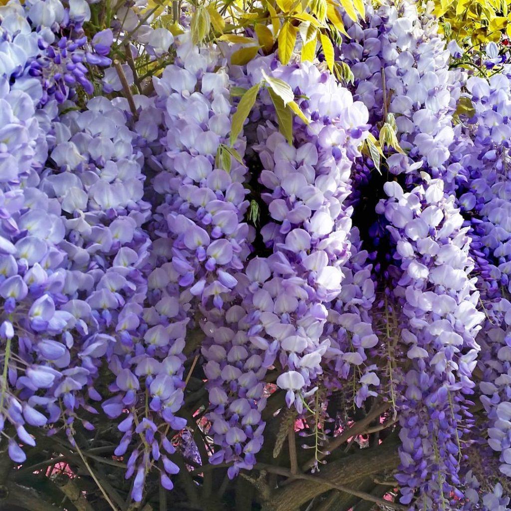 Глициния — красавица юга. виды, уход, выращивание, размножение. фото — ботаничка.ru