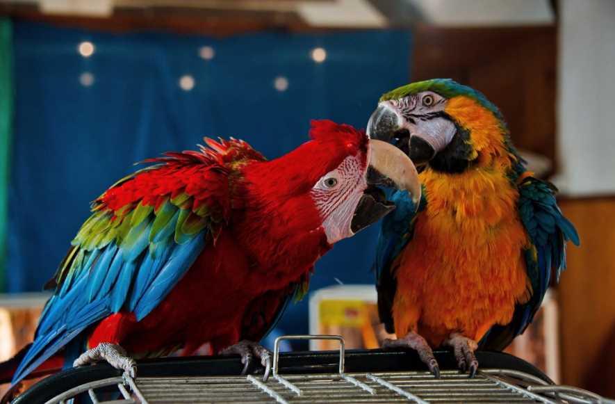 Какие бывают попугаи: история и разновидности с фото
