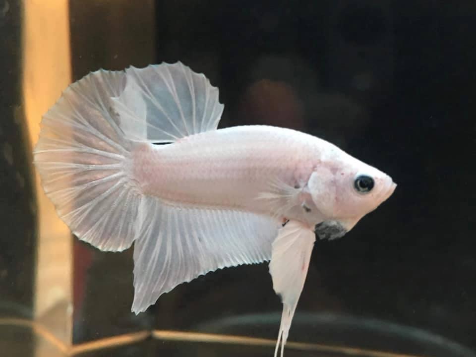 Петушок рыба. образ жизни и среда обитания рыбы петушок