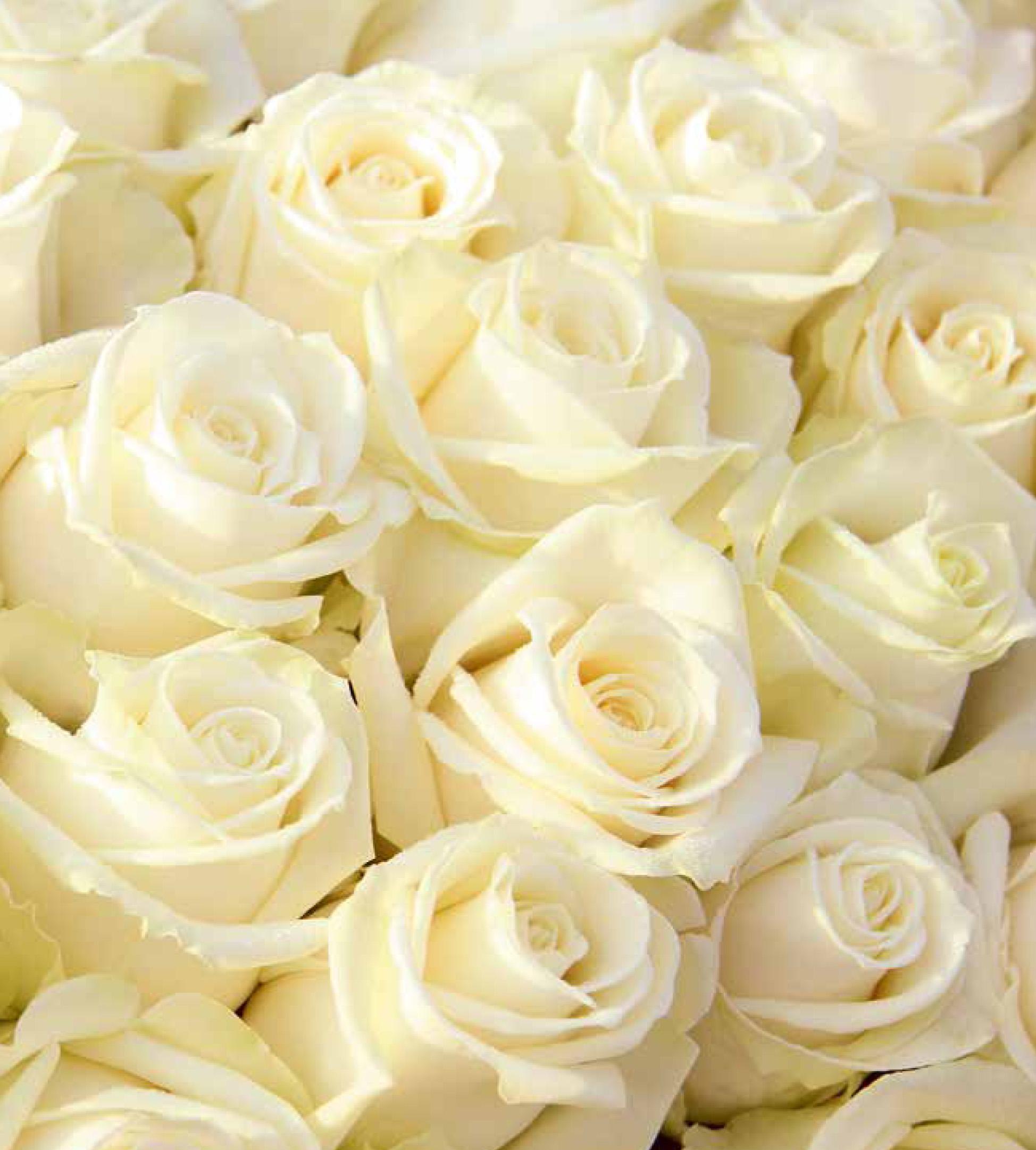 Сорта белых роз: лучшие сорта с описанием и фото