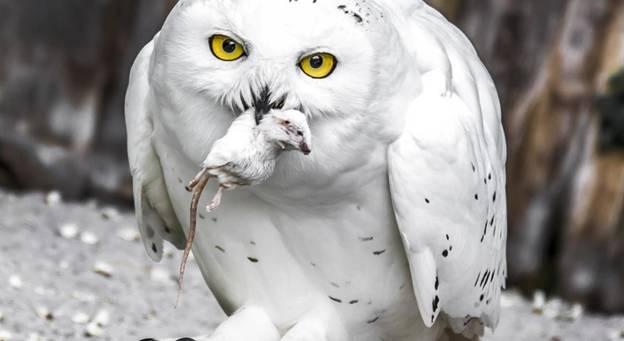Птица сова: описание, виды, образ жизни