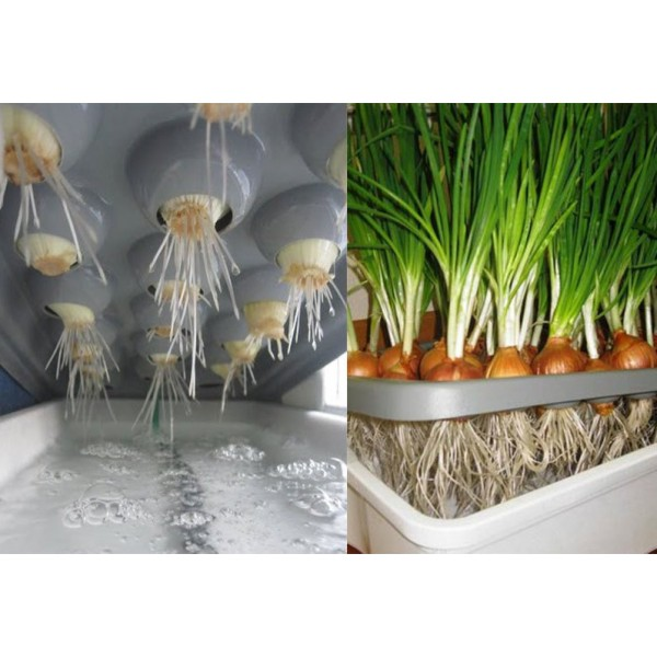 О том, как можно выращивать лук на перо