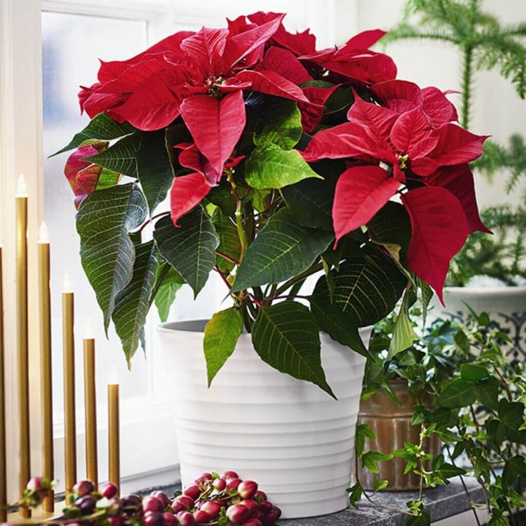 Цветок рождественская звезда: как ухаживать, чтобы цвел, и что делать, если завяли листья