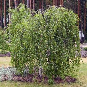 Берёза - символ земли русской.