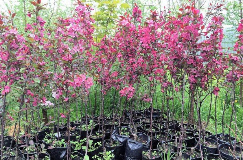Яблоня декоративная краснолистная с розовыми цветами