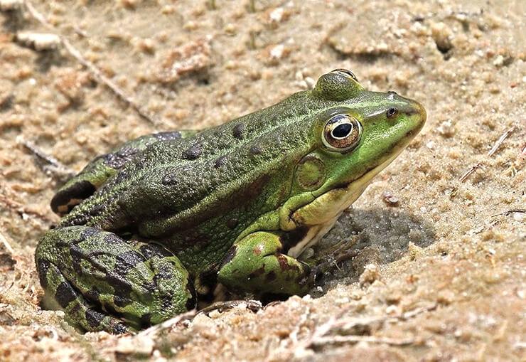 Лягушка озерная: описание, среда обитания, фото