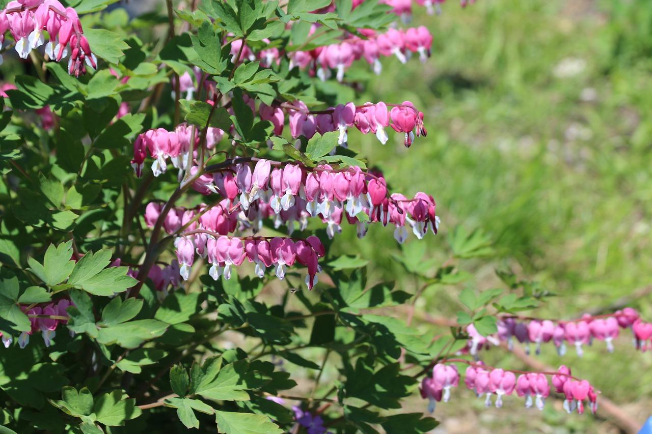 Садовый цветок разбитое сердце: посадка и уход за дицентрой