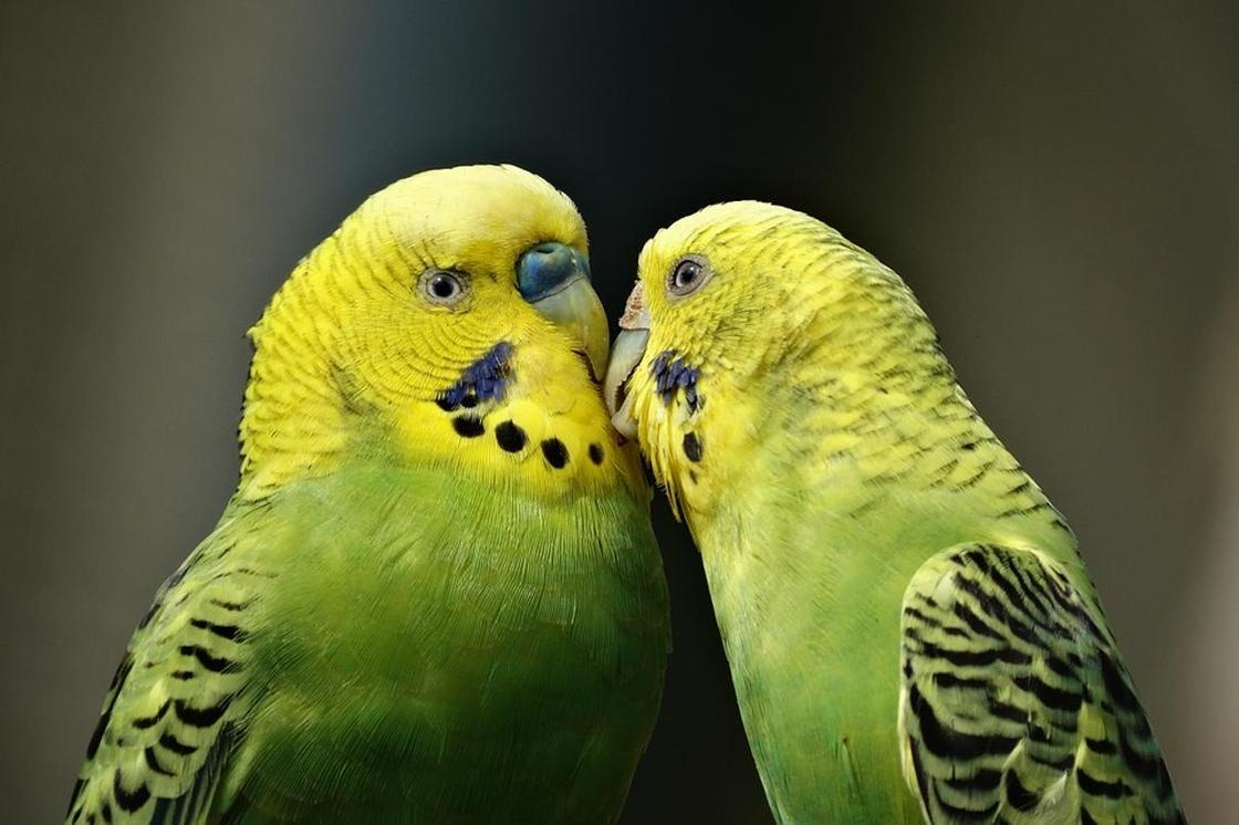 Волнистый попугай: описание, содержание и уход, сколько живут