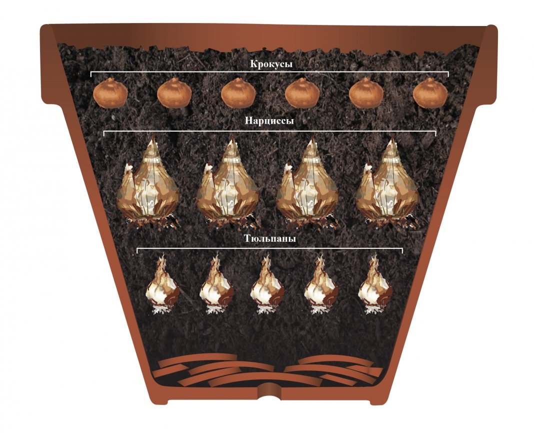 Правильная посадка тюльпанов дома в горшки или корзины для луковичных