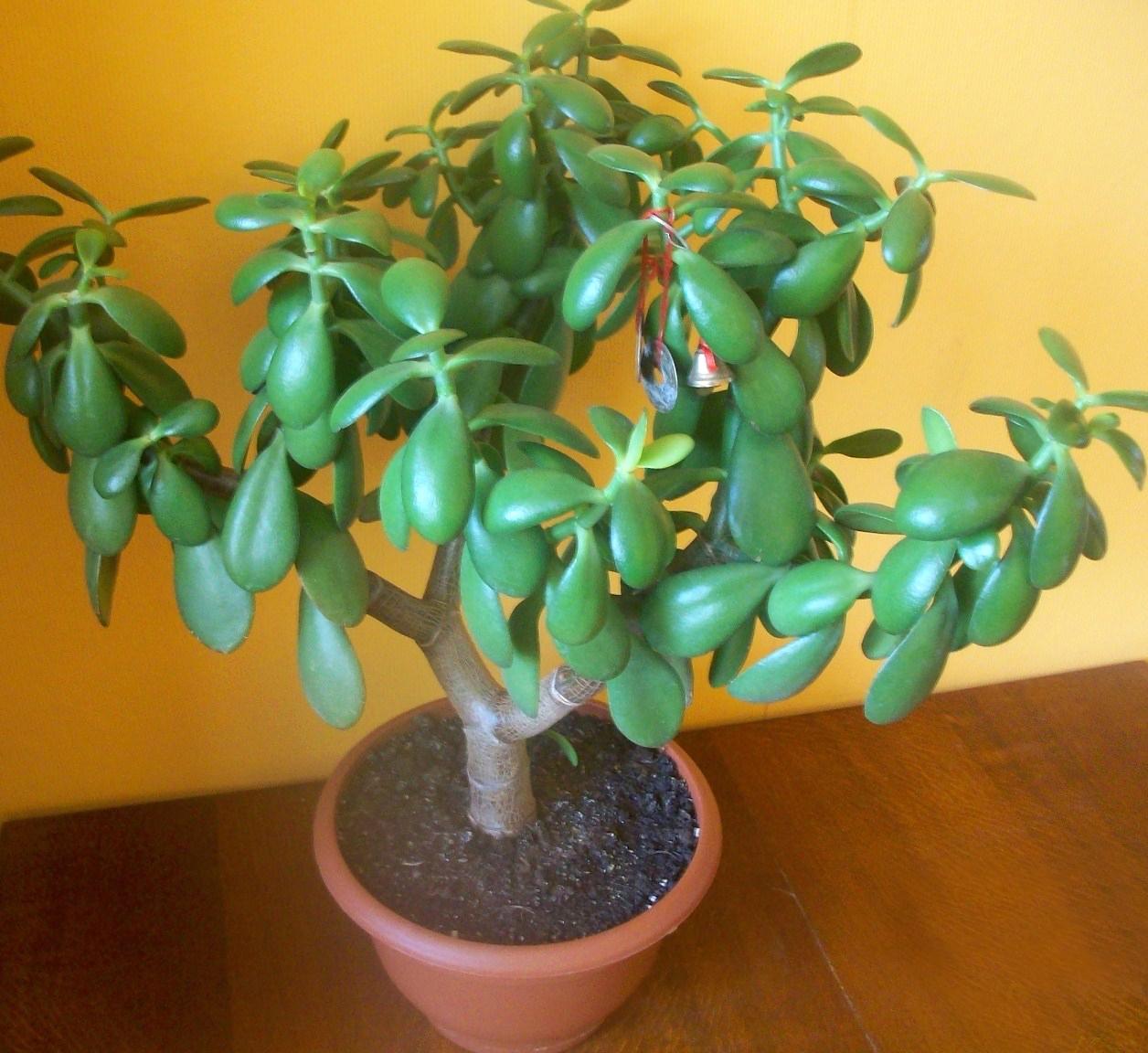 Денежное дерево: полезные свойства цветка для человека и дома, вред и противопоказания, и в чем польза толстянки для здоровья, ядовито ли комнатное растение или нет?