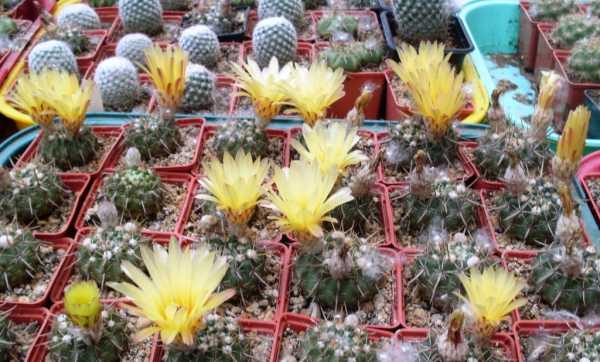 Самые красивые виды домашних кактусов с фото и названиями