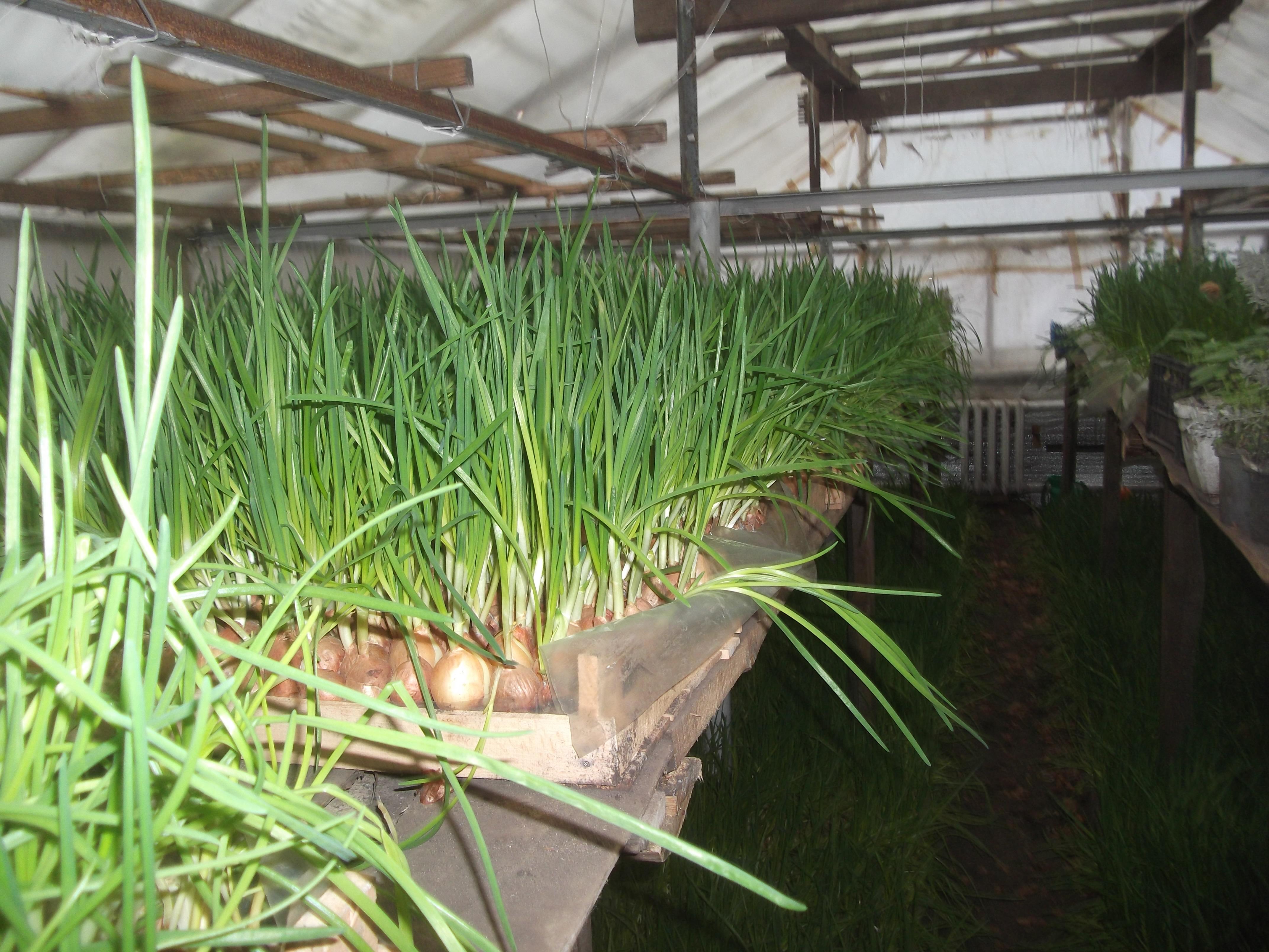 Выращивание зеленого лука как бизнес – как вырастить зеленый лук в зимнее время на продажу?