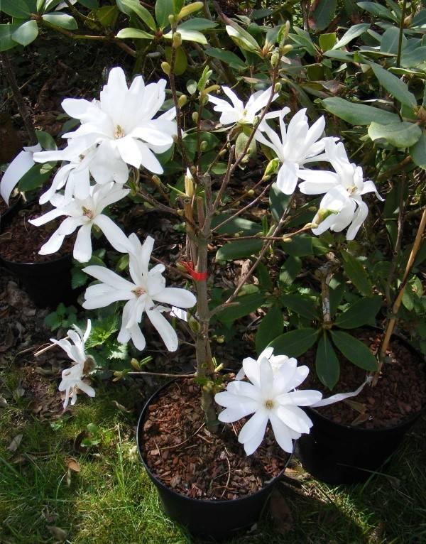 Магнолия: значение цветка, символ, приметы и суеверия