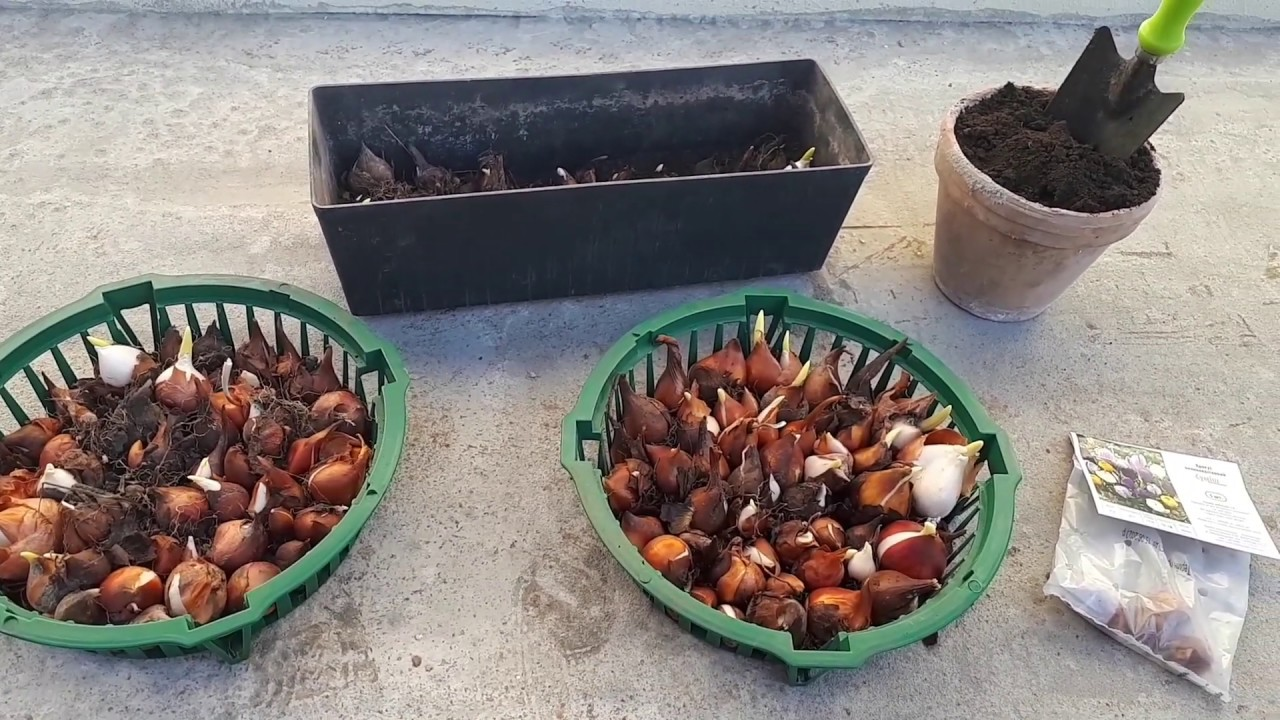 Посадка тюльпанов в корзины для луковичных: сроки и как провести своими руками