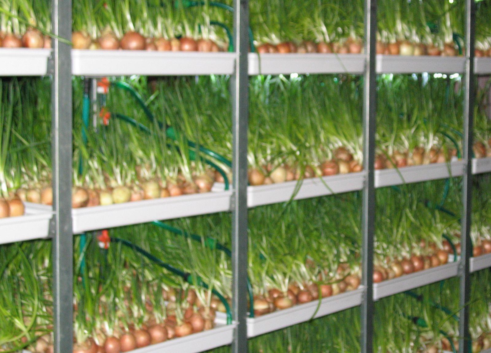 Как вырастить дома лук на перо?