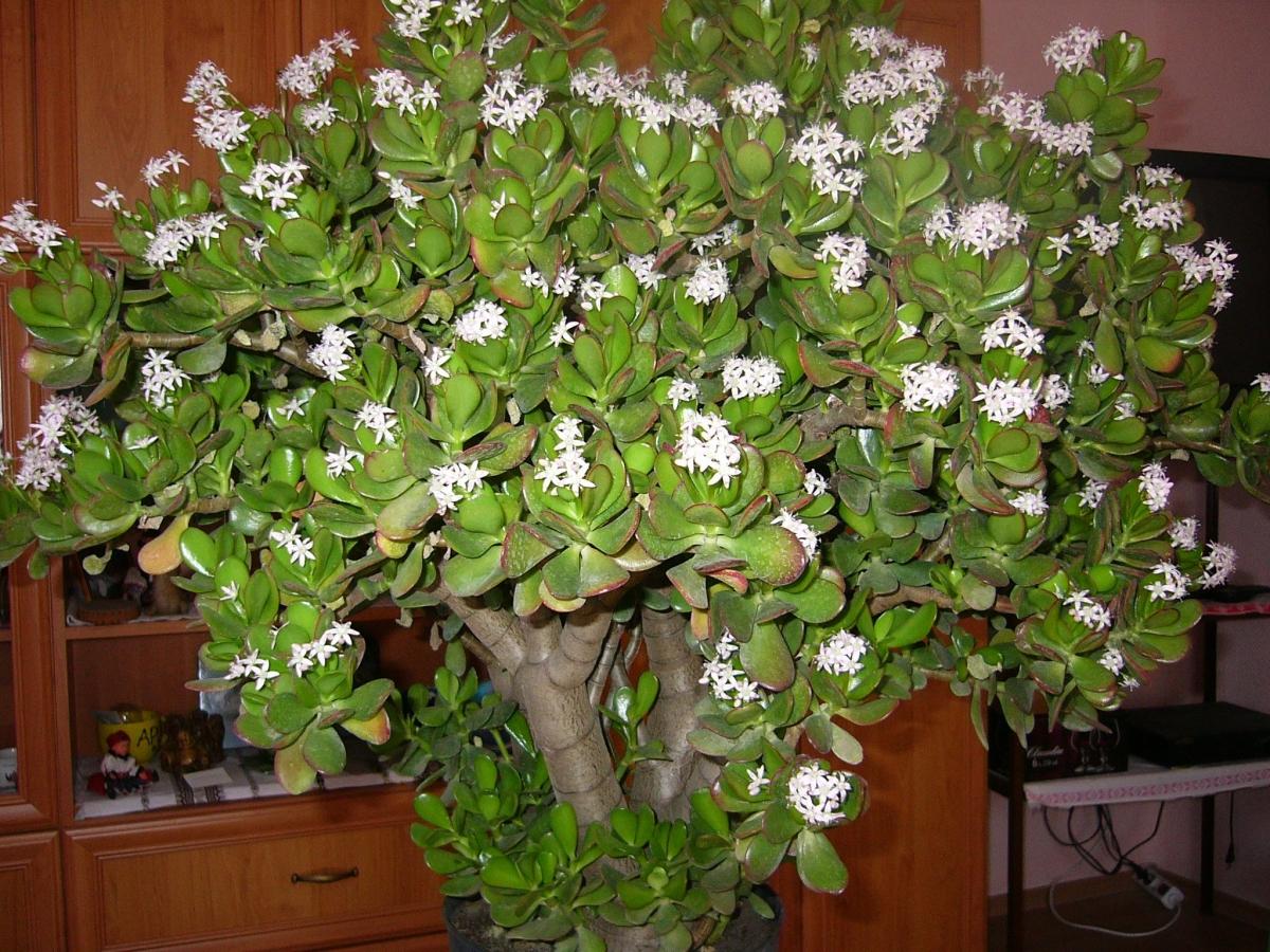Домашний лекарь денежное дерево — полезные свойства и применение цветка. ядовит он или нет?