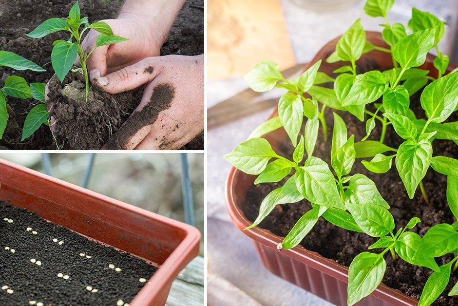 Лучшие способы выращивания крепкой рассады перца в домашних условиях |