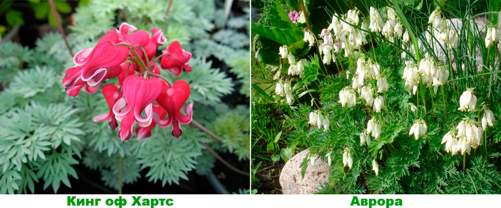 Дицентра— цветок сердца