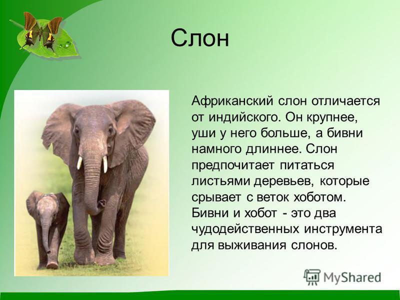 Слоны: описание животного, сколько живут, чем питаются