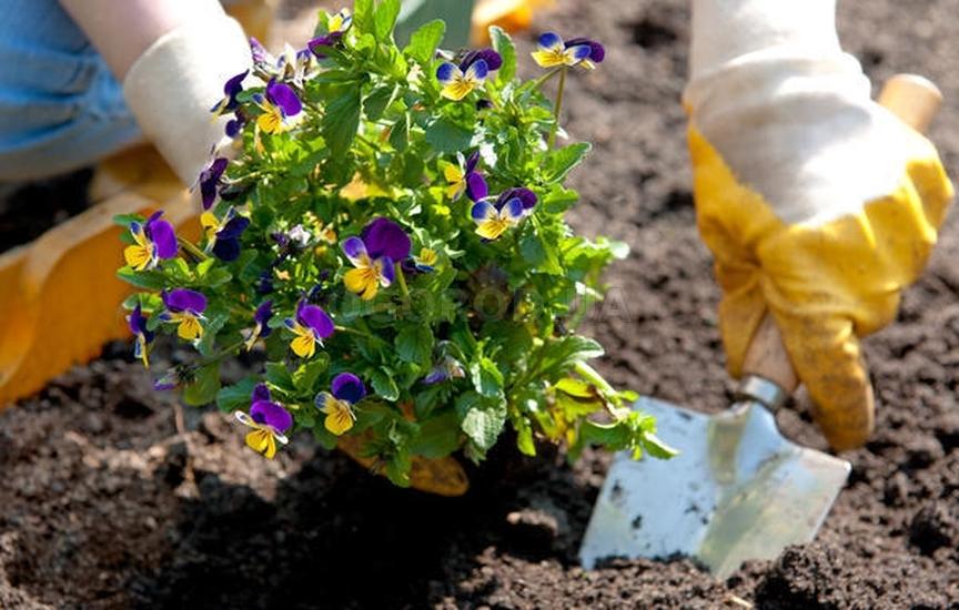Анютины глазки или фиалка: уход и выращивание в открытом грунте