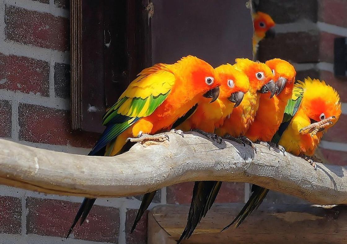 Волнистый попугай - правила по уходу за говорящим попугаем (50 фото)