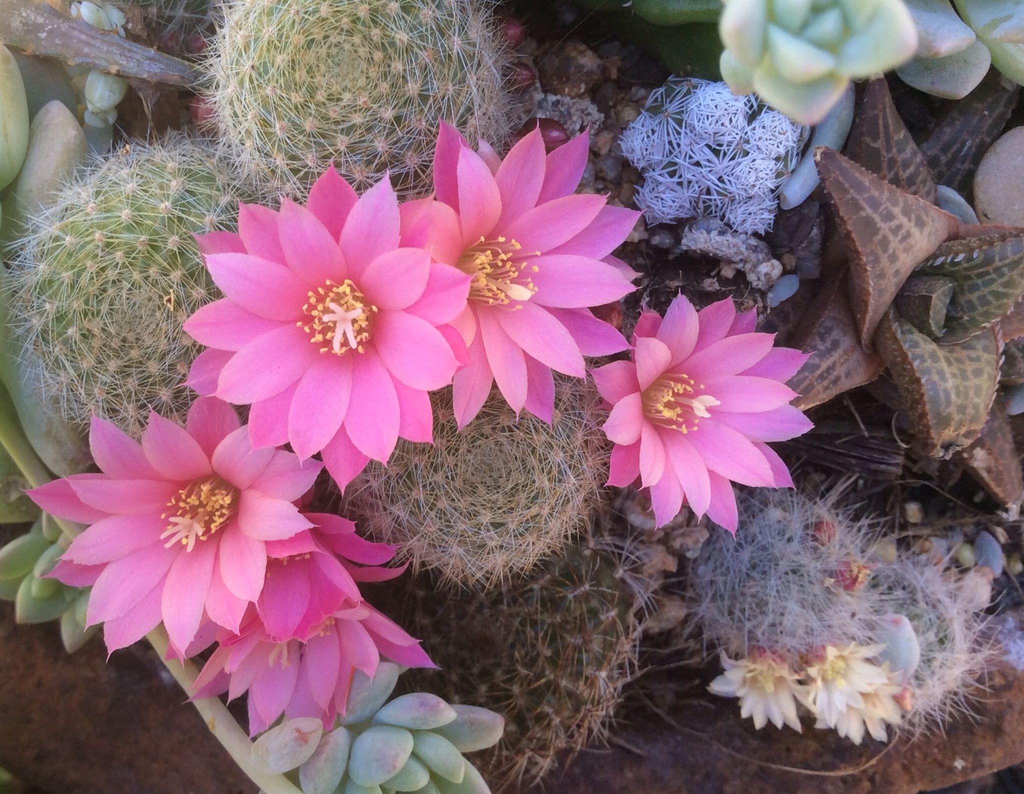 Оригинальные кактусы: популярные виды и их фото с названиями