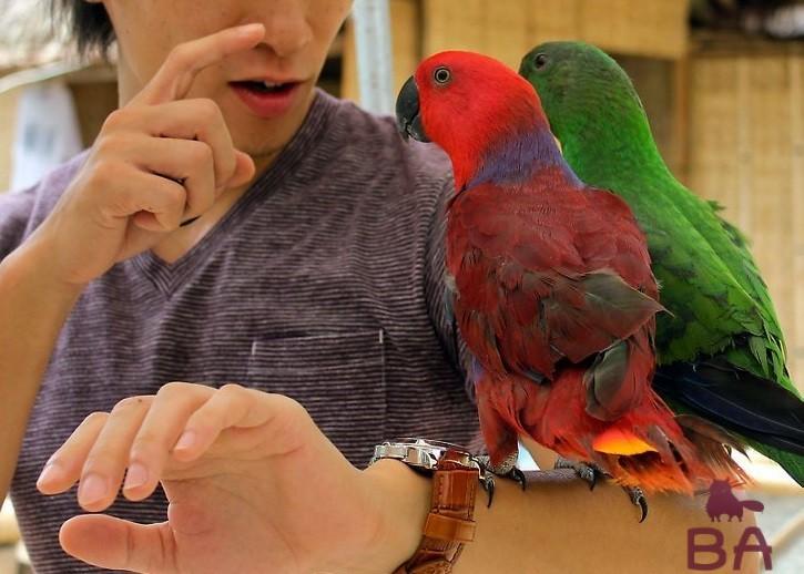 Разновидности волнистых попугаев